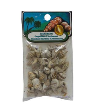 Nassarius Persica Seashell- India