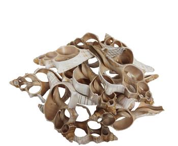 Fox Shell Seashell Slice - Inches