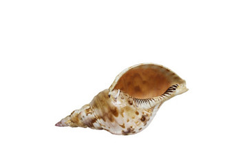 Pacific Triton Seashell
