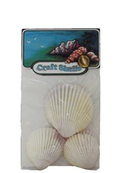 Philippine Cockles Seashell