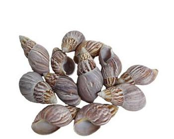 Philippine Land Snail Seashell
