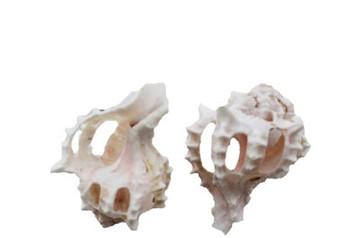 Pink Murex Spiral Seashell