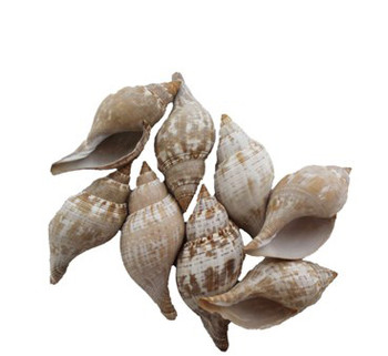 Polished  Tulip Seashells