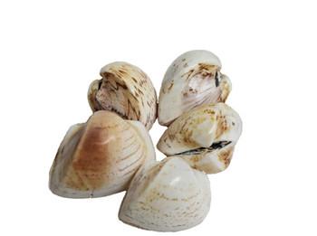 Polished Cardium Seashells
