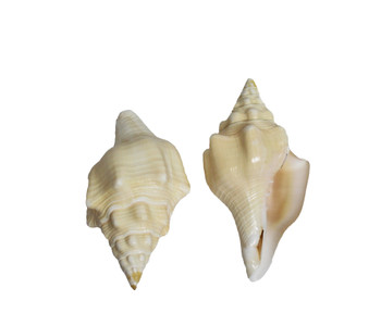 Polished Chank Seashell