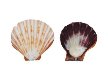 Polished Lion's Paw Orange Seashells