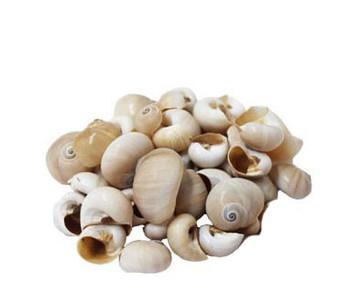 Shark Eyes Seashells- Kilo