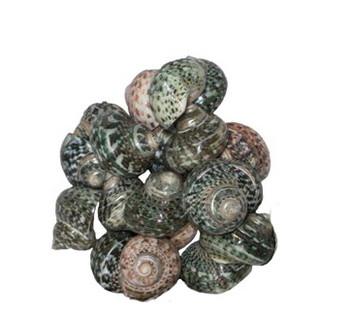 Polished Turbo Fluctuosus Seashells