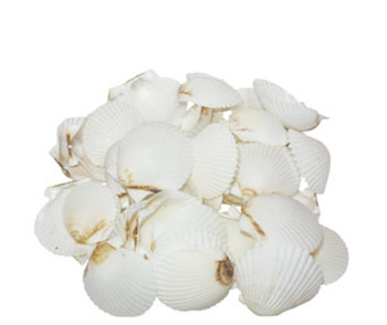 White Scallops Seashells