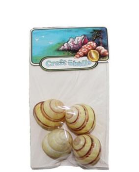 Yellow Banded Snail  Seashells