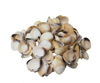 Yellow Clam Seashells - Kilo