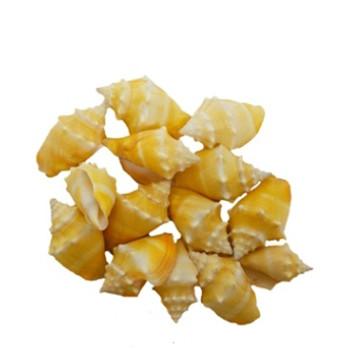 Yellow Fighting Conch Seashells