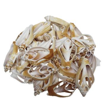 Strombus Canarium  Seashells Sliced