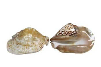 Strombus Latus Seashells