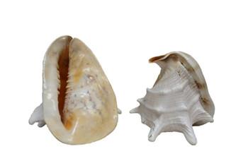 Yellow Helmet Seashells