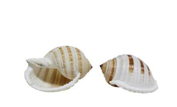 Tonna Sulcosa Seashells