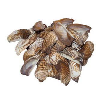 Turkey Wings Seashells