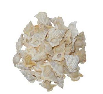 Maple Leaf Seashells