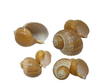 Tonna Olearium Seashell