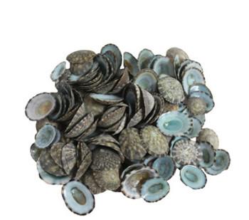 Green Limpets Seashells