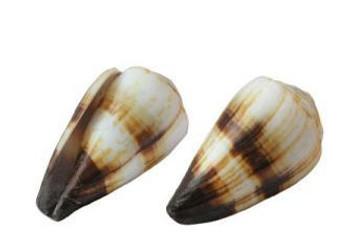 Soldier Cone Seashell