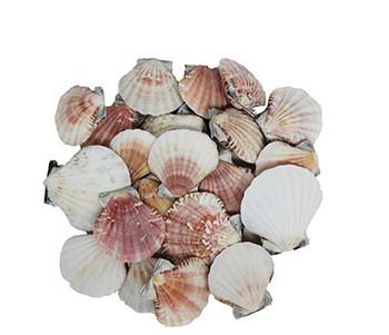 Pecten Vexillum Pairs-Seashells
