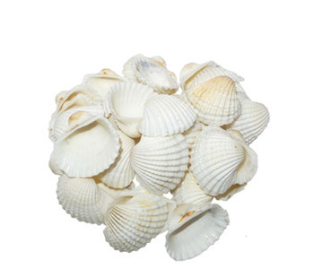 White Ark Seashells