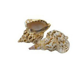 Triton Seashells