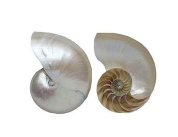 Pearlized Nautilus  Center Cut