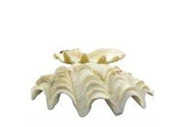 Ruffle Clam Seashells