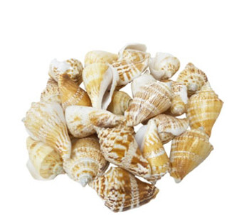Strombus Marginatus Seashell