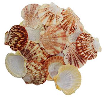 Pecten Macasarensis Shells