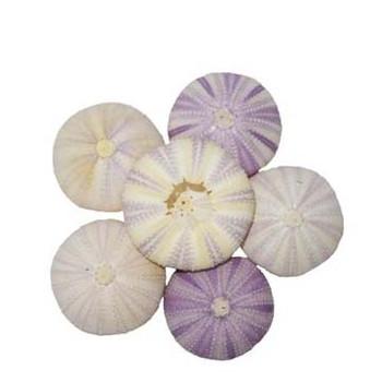 Violet Urchin