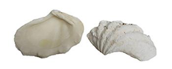 Elongated Clam Seashells