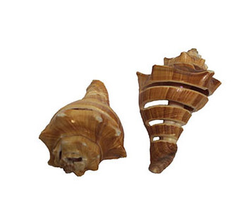 Spiral Cut Vole Shell