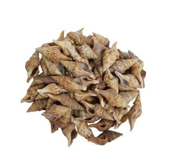 Turris Seashell Medium- Kilo