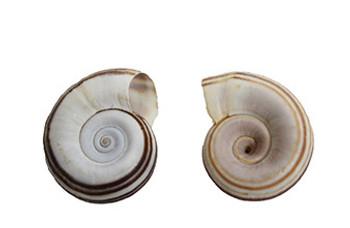 Ram's Horn Brown