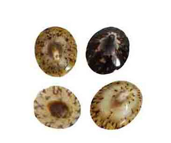 Polished Oval Limpets