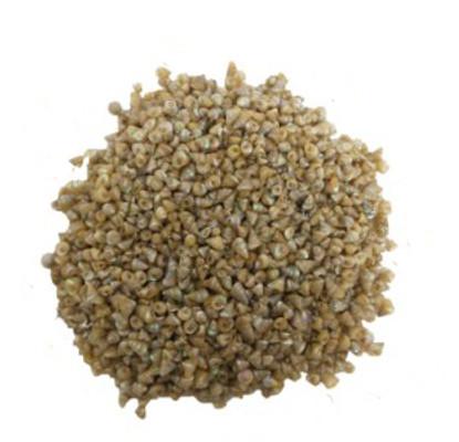 Pearlized Trochus Seashell