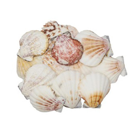 Pecten Vexillium Seashells-Kilo