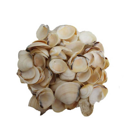 Cream Clam Seashells