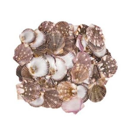 Pixadatus Flat Seashell