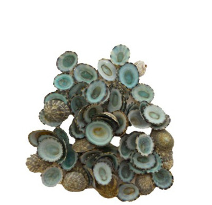 Green Limpets Seashell- Pound