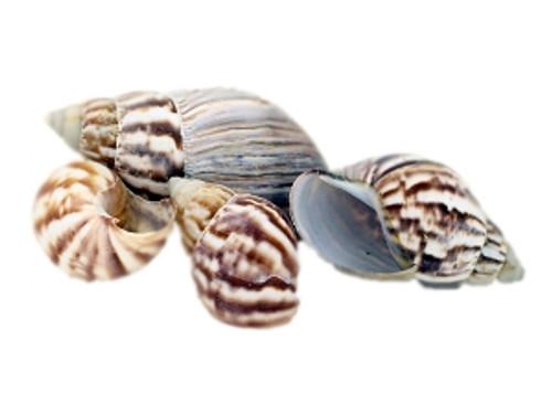Philippine Land Snail Seashell- Kilo