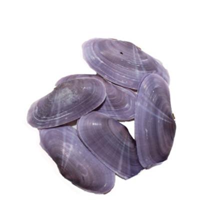 Violet Gari Elongata Clam Seashells