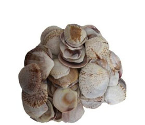 Semi White Clam Seashells