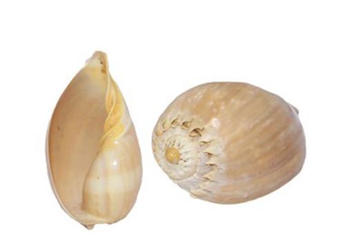 Polished Melo Diadema Seashell
