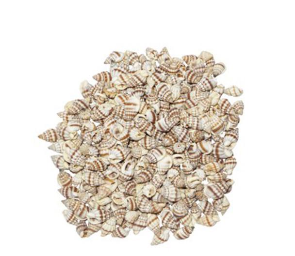 Nassarius Phyrrus-LB Seashells