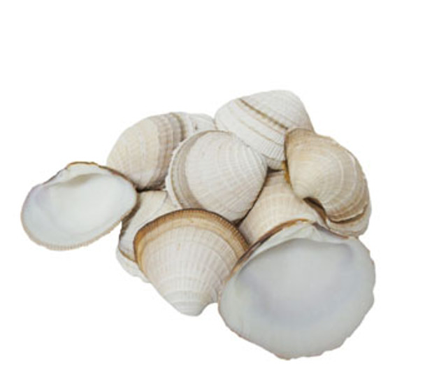 Cheena Clam Seashells