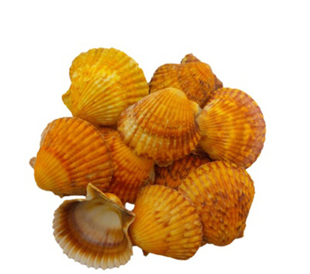 Orange Pecten Lacquered Seashells